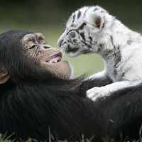 #9 All Time Favorite Post- White Tigers' New Mom...contrib. by Fredie M.