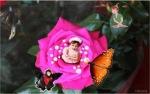 butterflyrosebud1